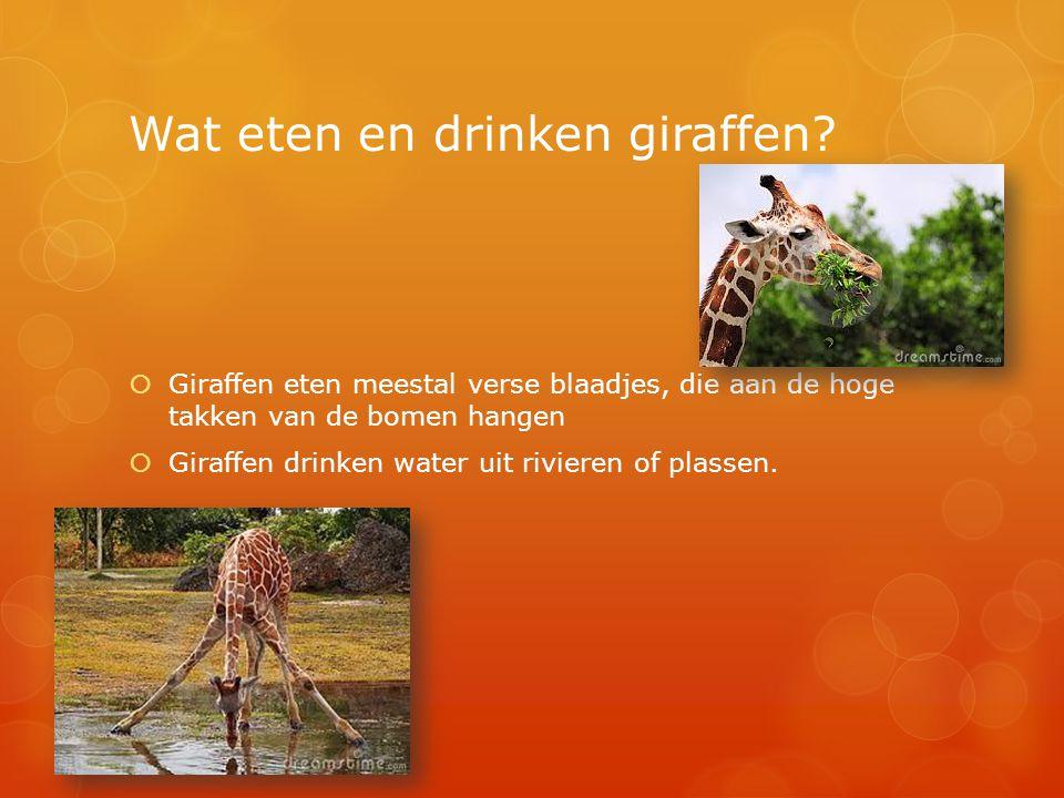 Wat eten en drinken giraffen?  Giraffen eten meestal verse blaadjes, die aan de hoge takken van de bomen hangen  Giraffen drinken water uit rivieren