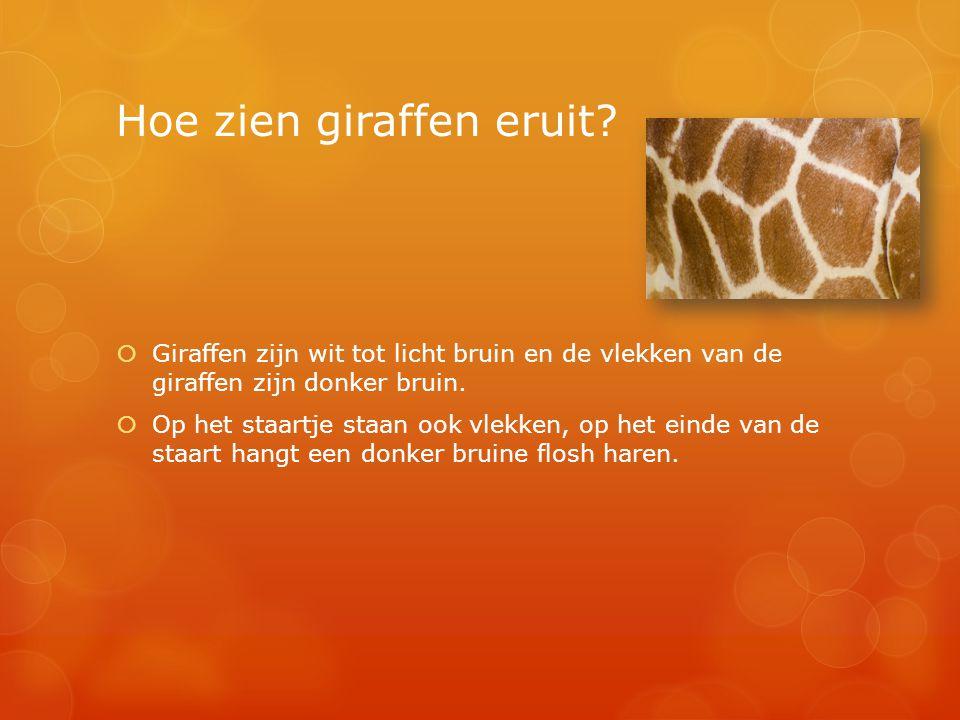 Hoe zien giraffen eruit?  Giraffen zijn wit tot licht bruin en de vlekken van de giraffen zijn donker bruin.  Op het staartje staan ook vlekken, op