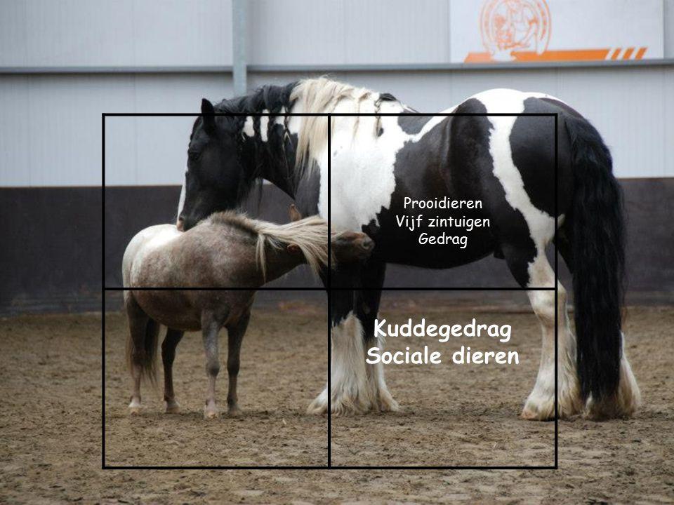 Prooidieren Vijf zintuigen Gedrag Kuddegedrag Sociale dieren