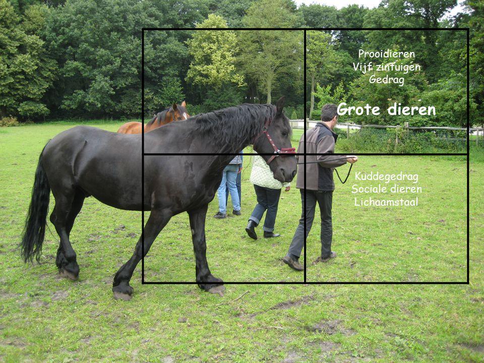 Prooidieren Vijf zintuigen Gedrag Grote dieren Kuddegedrag Sociale dieren Lichaamstaal
