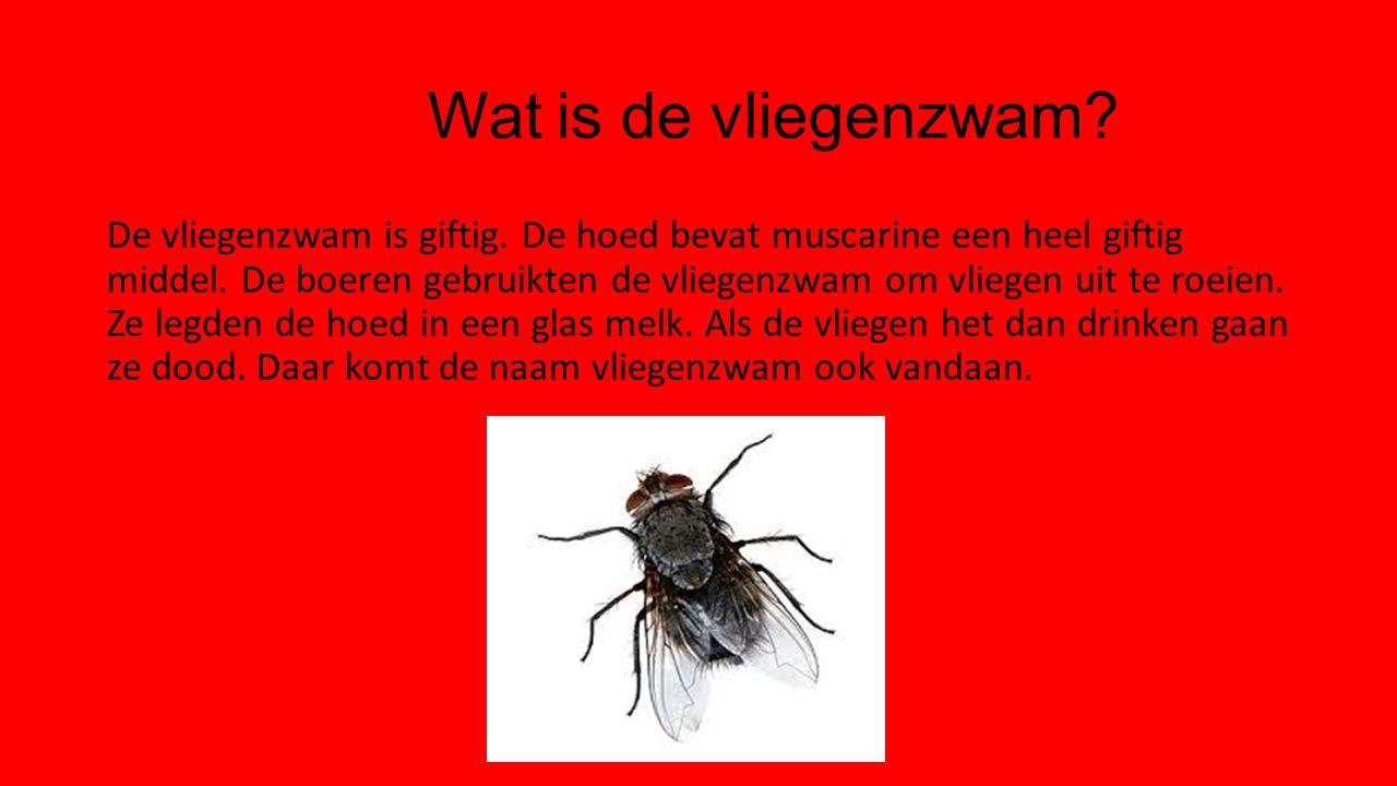 Wat is de vliegenzwam? De vliegenzwam is giftig. De hoed bevat muscarine een heel giftig middel. De boeren gebruikten de vliegenzwam om vliegen uit te