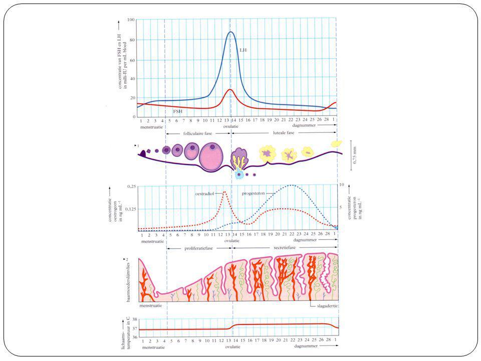 Menstruatiecyclus Hypofyse produceert FSH en LH Hypofyse LHFSH