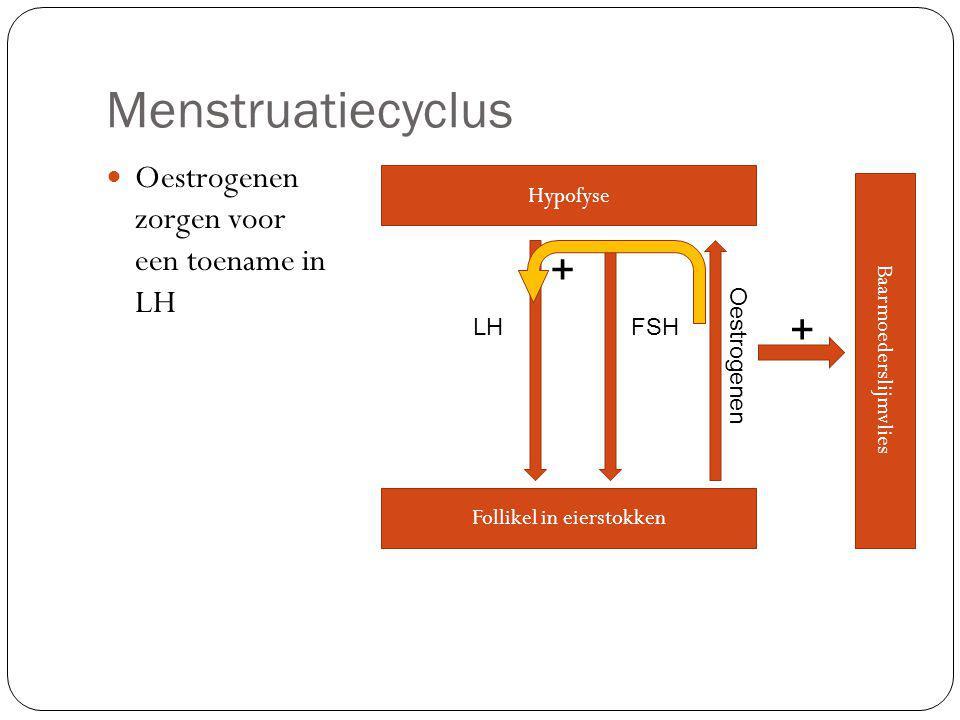 Menstruatiecyclus Oestrogenen zorgen voor een toename in LH Hypofyse LHFSH Follikel in eierstokken Oestrogenen Baarmoederslijmvlies + +