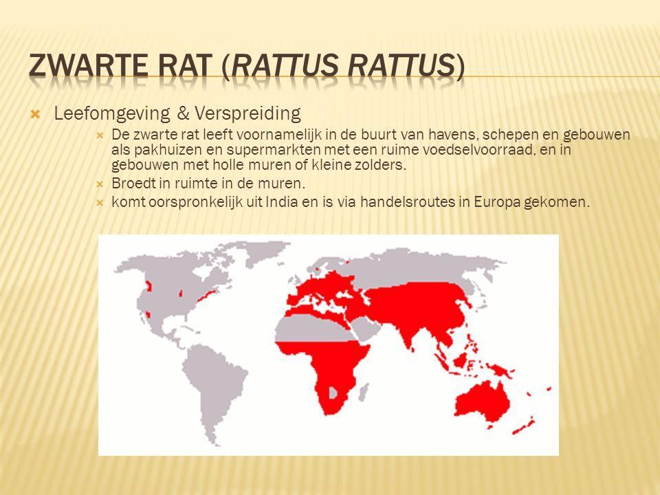  Leefomgeving & Verspreiding  De zwarte rat leeft voornamelijk in de buurt van havens, schepen en gebouwen als pakhuizen en supermarkten met een rui