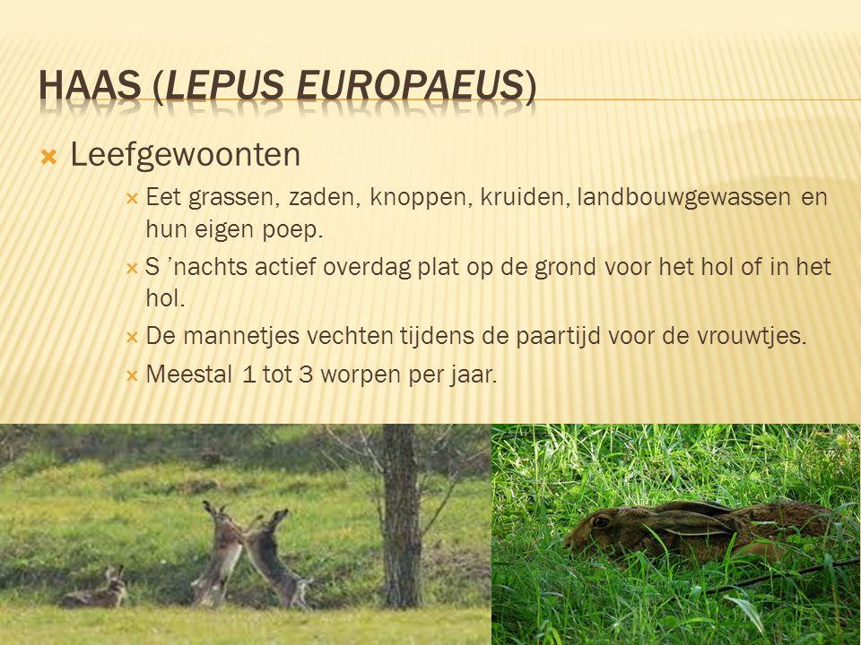  Leefomgeving & Verspreiding  Weilanden, gematigde open velden en bossen  Broed in holen in de grond.