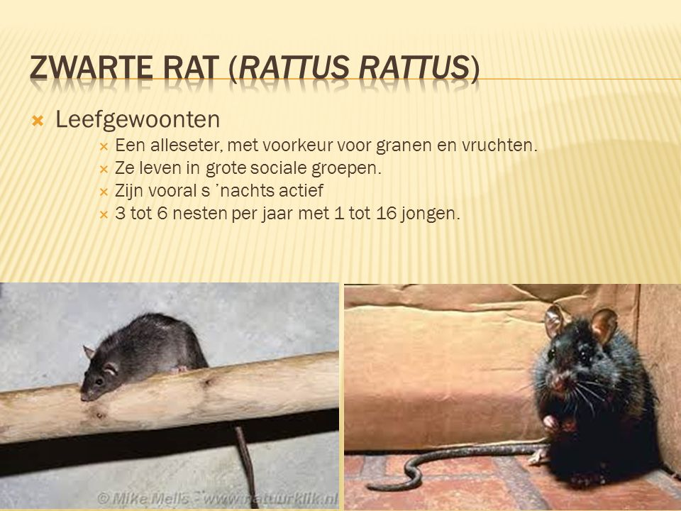  Leefomgeving & Verspreiding  De zwarte rat leeft voornamelijk in de buurt van havens, schepen en gebouwen als pakhuizen en supermarkten met een ruime voedselvoorraad, en in gebouwen met holle muren of kleine zolders.
