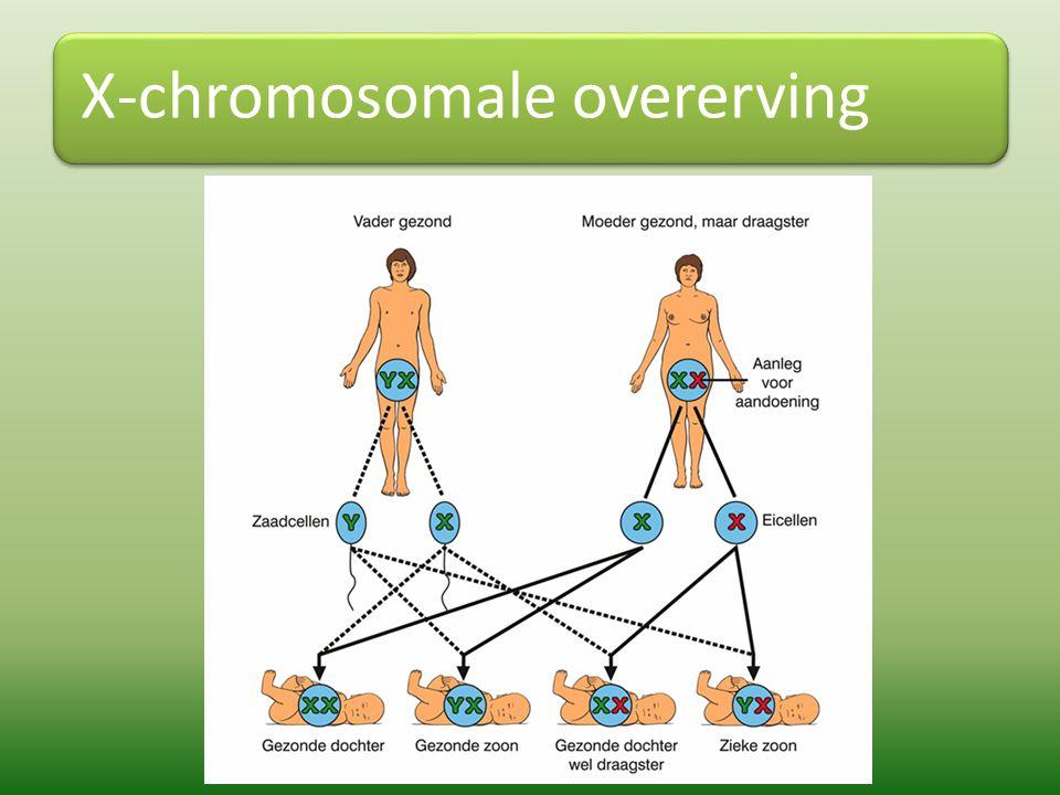 Werken met X-chromosomale kruisingen Notatie  Dominant X-gen: X R – Recessief X-gen: X r Voorbeeld: oogkleur bananenvliegjes, rood is dominant Kruising: roodogig vrouwtje - witogig mannetje X R X R x X r Y Allelen: X R of X R en X r of Y Allelen XR XR XRXR XrXr X R X r YX R Y