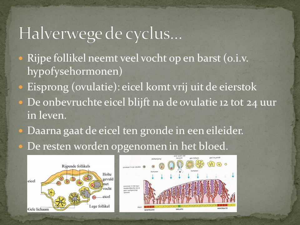 Rijpe follikel neemt veel vocht op en barst (o.i.v. hypofysehormonen) Eisprong (ovulatie): eicel komt vrij uit de eierstok De onbevruchte eicel blijft