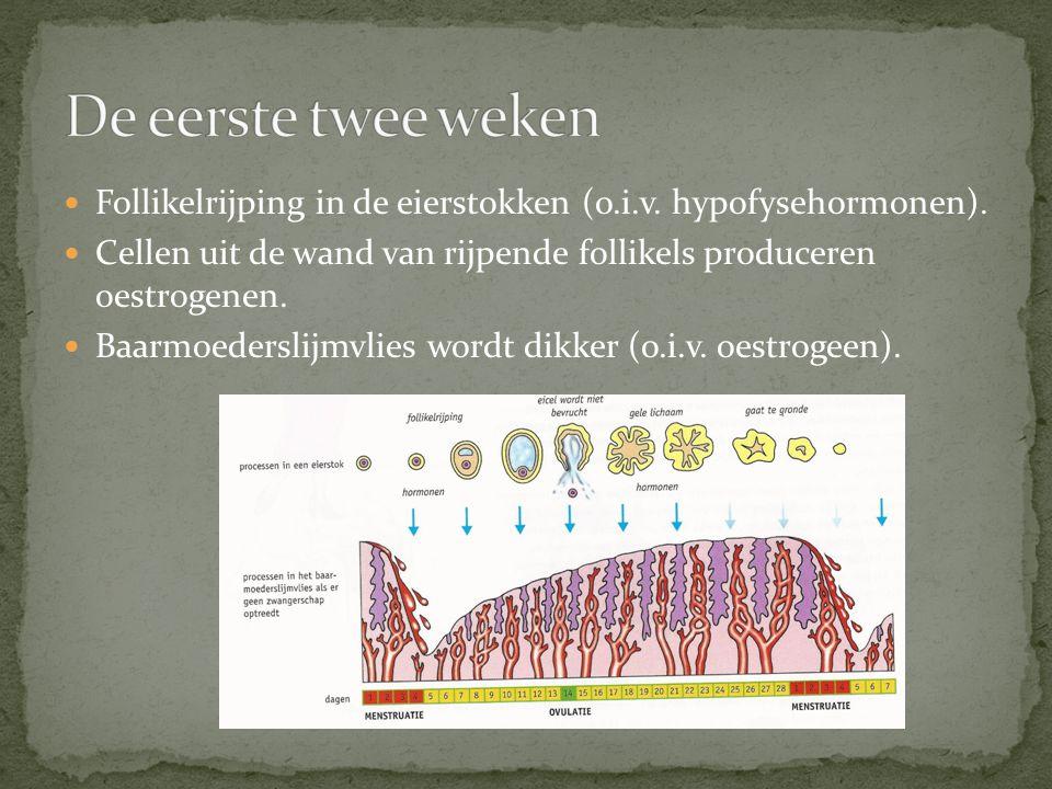 Follikelrijping in de eierstokken (o.i.v. hypofysehormonen). Cellen uit de wand van rijpende follikels produceren oestrogenen. Baarmoederslijmvlies wo