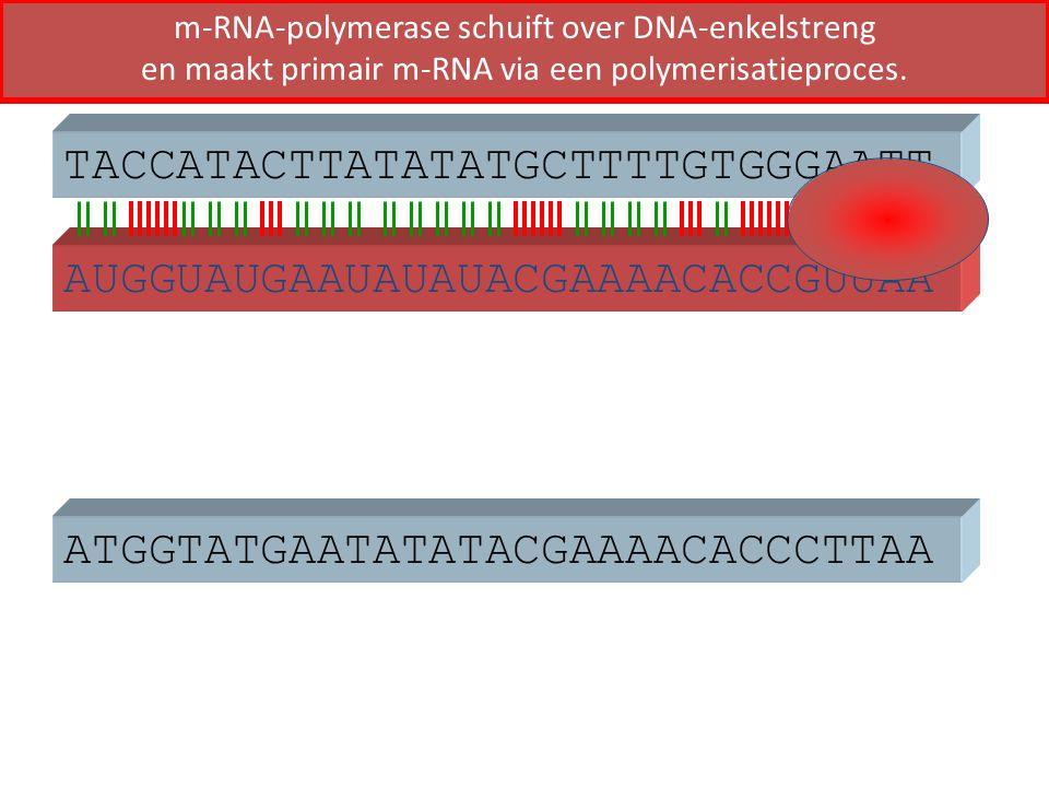 ATGGTATGAATATATACGAAAACACCCTTAA TACCATACTTATATATGCTTTTGTGGGAATT AUGGUAUGAAUAUAUACGAAAACACCGUUAA m-RNA-polymerase schuift over DNA-enkelstreng en maakt