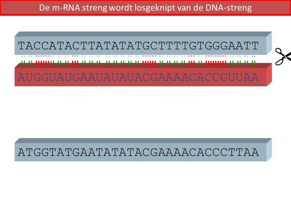 ATGGTATGAATATATACGAAAACACCCTTAA AUGGUAUGAAUAUAUACGAAAACACCGUUAA  TACCATACTTATATATGCTTTTGTGGGAATT De m-RNA streng wordt losgeknipt van de DNA-streng
