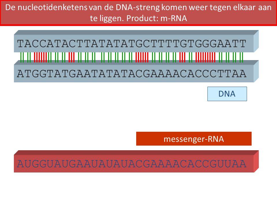 ATGGTATGAATATATACGAAAACACCCTTAA TACCATACTTATATATGCTTTTGTGGGAATT AUGGUAUGAAUAUAUACGAAAACACCGUUAA DNA messenger-RNA De nucleotidenketens van de DNA-stre