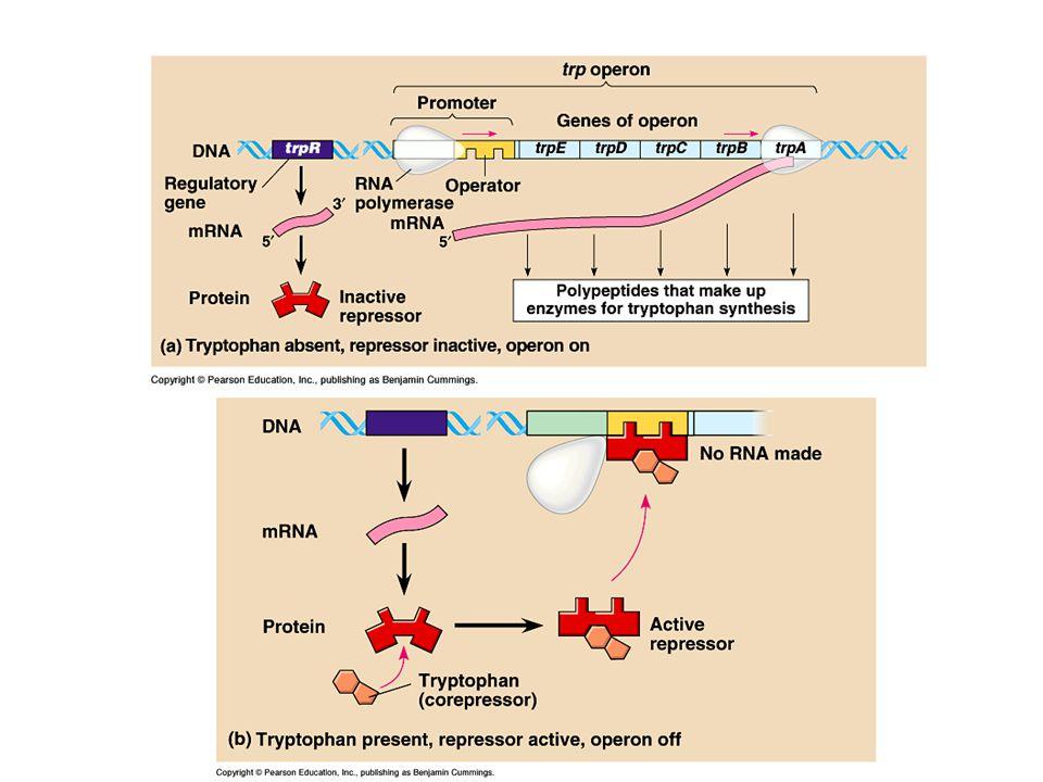 Eukaryoten Embryonale stamcellen worden beïnvloed in hun ontwikkeling door de plek waar ze zich bevinden – Regulatorgenen aan of uit in cel bepalen aanmaak eiwitten van die cel – Eiwitten van deze cellen beïnvloeden ontwikkeling naburige cellen – In deze cellen regulatorgenen aan of uit gezet