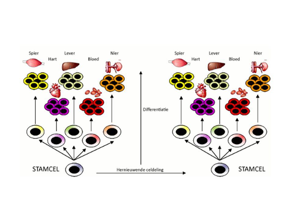 Ontwikkeling organisme Tijdens de ontwikkeling van een organisme kunnen in stamcellen andere genen tot expressie worden gebracht Hierdoor verschillende cellen waaruit nieuwe weefsels en organen kunnen ontwikkelen
