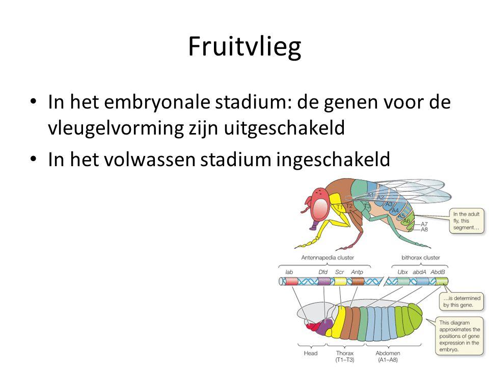 Fruitvlieg In het embryonale stadium: de genen voor de vleugelvorming zijn uitgeschakeld In het volwassen stadium ingeschakeld