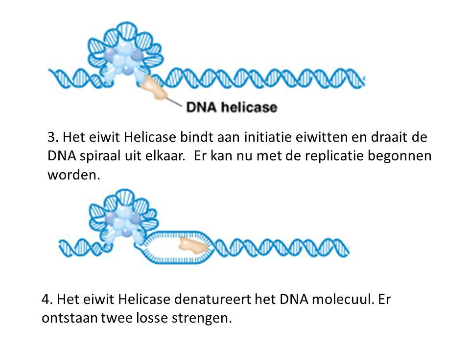 3. Het eiwit Helicase bindt aan initiatie eiwitten en draait de DNA spiraal uit elkaar. Er kan nu met de replicatie begonnen worden. 4. Het eiwit Heli