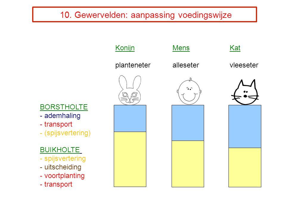10. Gewervelden: aanpassing voedingswijze KonijnMensKat planteneterallesetervleeseter BORSTHOLTE - ademhaling - transport - (spijsvertering) BUIKHOLTE