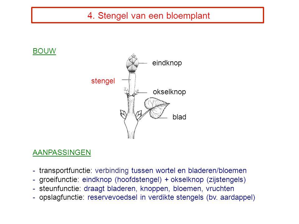 4. Stengel van een bloemplant BOUW AANPASSINGEN - transportfunctie: verbinding tussen wortel en bladeren/bloemen - groeifunctie: eindknop (hoofdstenge