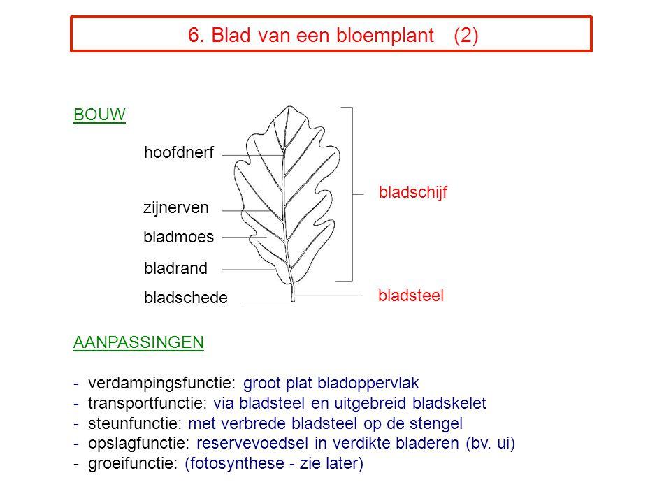 6. Blad van een bloemplant (2) BOUW AANPASSINGEN - verdampingsfunctie: groot plat bladoppervlak - transportfunctie: via bladsteel en uitgebreid bladsk