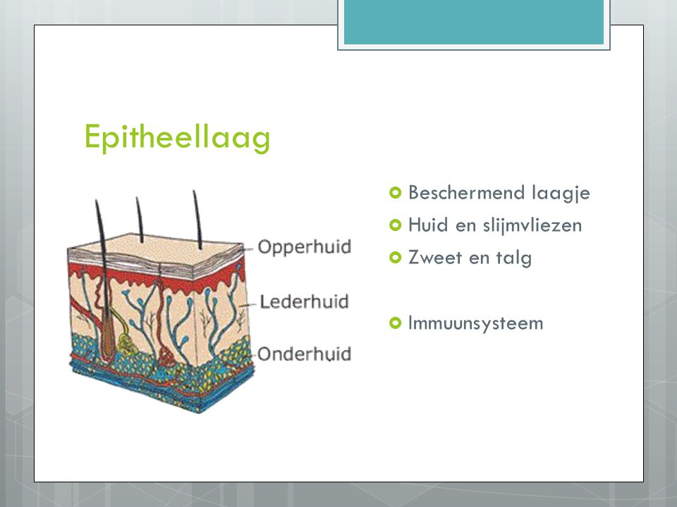 Epitheellaag  Beschermend laagje  Huid en slijmvliezen  Zweet en talg  Immuunsysteem