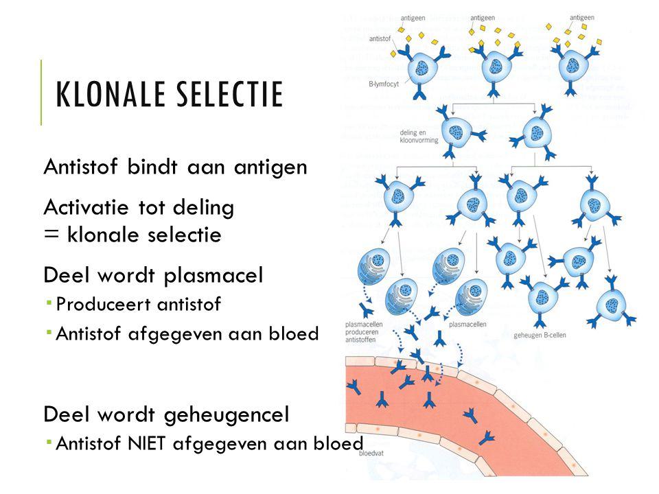 KLONALE SELECTIE Antistof bindt aan antigen Activatie tot deling = klonale selectie Deel wordt plasmacel  Produceert antistof  Antistof afgegeven aa