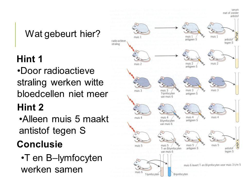 Wat gebeurt hier? Door radioactieve straling werken witte bloedcellen niet meer Alleen muis 5 maakt antistof tegen S Hint 1 Hint 2 T en B–lymfocyten w