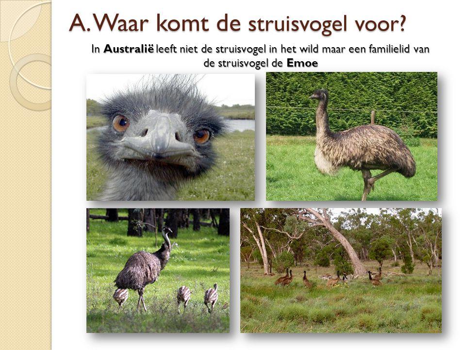 In Australië leeft niet de struisvogel in het wild maar een familielid van de struisvogel de Emoe A. Waar komt de struisvogel voor?