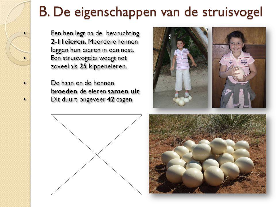 Een hen legt na de bevruchting 2-11eieren. Meerdere hennen leggen hun eieren in een nest. Een struisvogelei weegt net zoveel als 25 kippeneieren. De h