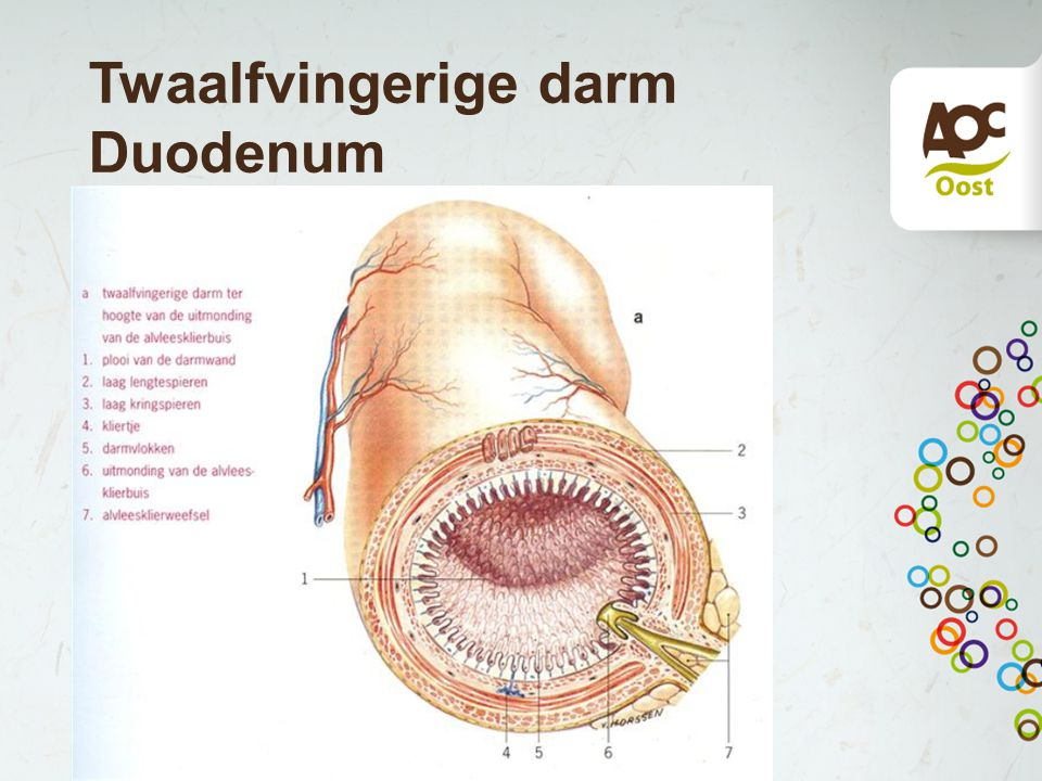 Twaalfvingerige darm Duodenum