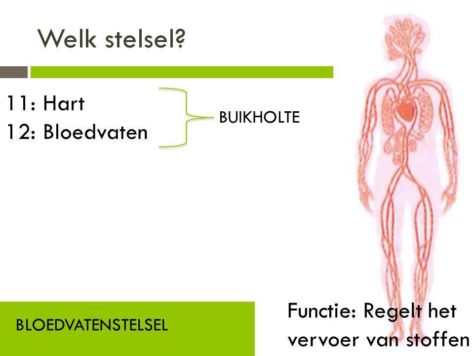Welk stelsel? BLOEDVATENSTELSEL Functie: Regelt het vervoer van stoffen 11: Hart 12: Bloedvaten BUIKHOLTE