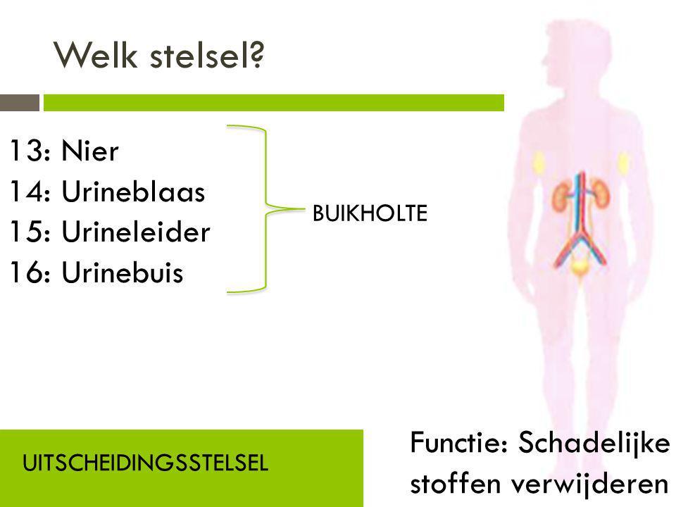 Welk stelsel? UITSCHEIDINGSSTELSEL Functie: Schadelijke stoffen verwijderen 13: Nier 14: Urineblaas 15: Urineleider 16: Urinebuis BUIKHOLTE