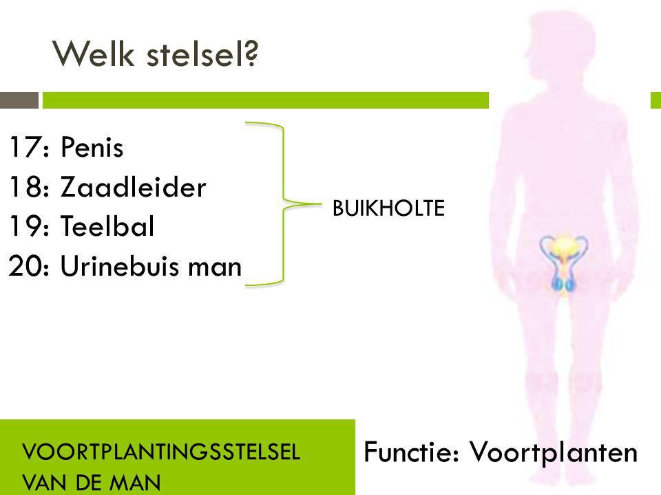 Welk stelsel? VOORTPLANTINGSSTELSEL VAN DE MAN Functie: Voortplanten 17: Penis 18: Zaadleider 19: Teelbal 20: Urinebuis man BUIKHOLTE