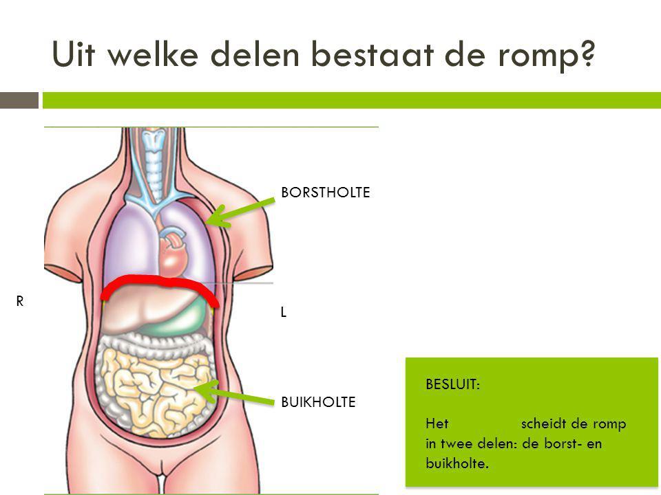 Uit welke delen bestaat de romp? BORSTHOLTE BUIKHOLTE R L BESLUIT: Het middenrif scheidt de romp in twee delen: de borst- en buikholte.