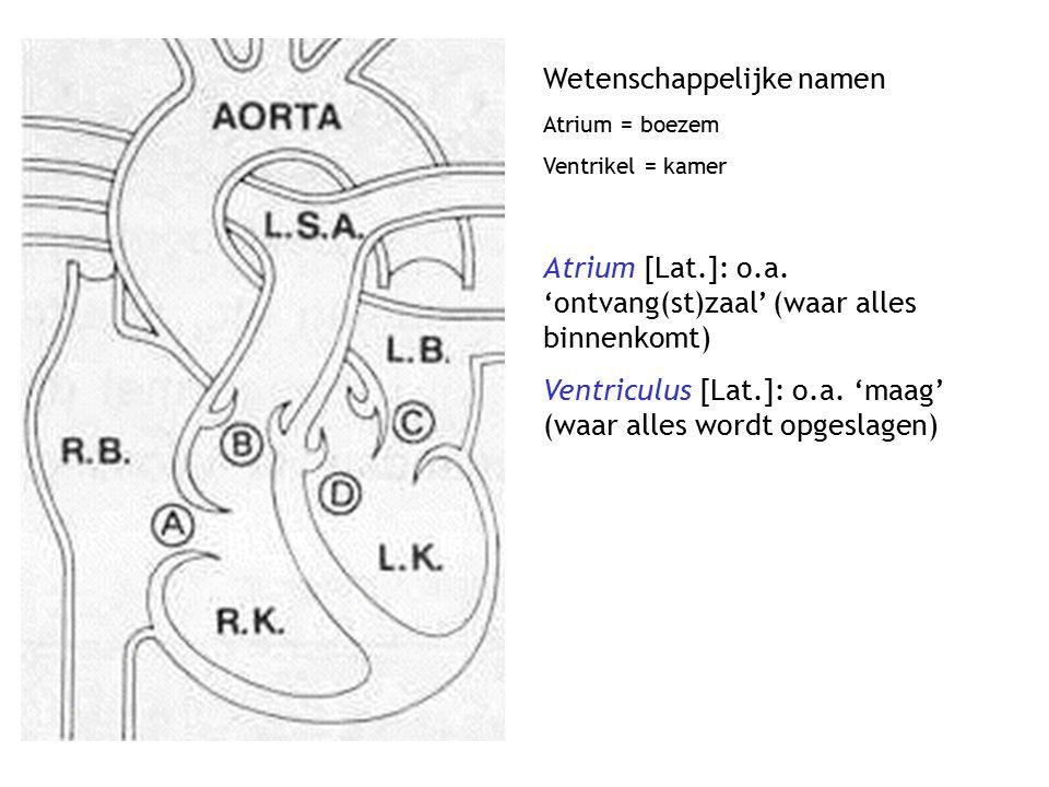 Wetenschappelijke namen Atrium = boezem Ventrikel = kamer Atrium [Lat.]: o.a. 'ontvang(st)zaal' (waar alles binnenkomt) Ventriculus [Lat.]: o.a. 'maag