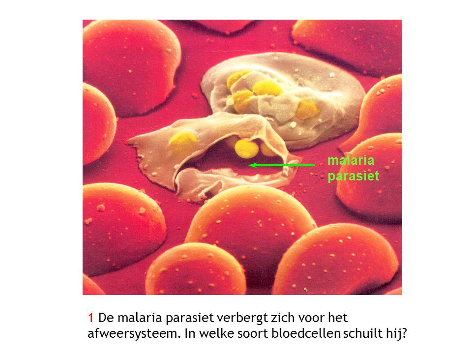 malaria parasiet 1 De malaria parasiet verbergt zich voor het afweersysteem. In welke soort bloedcellen schuilt hij?