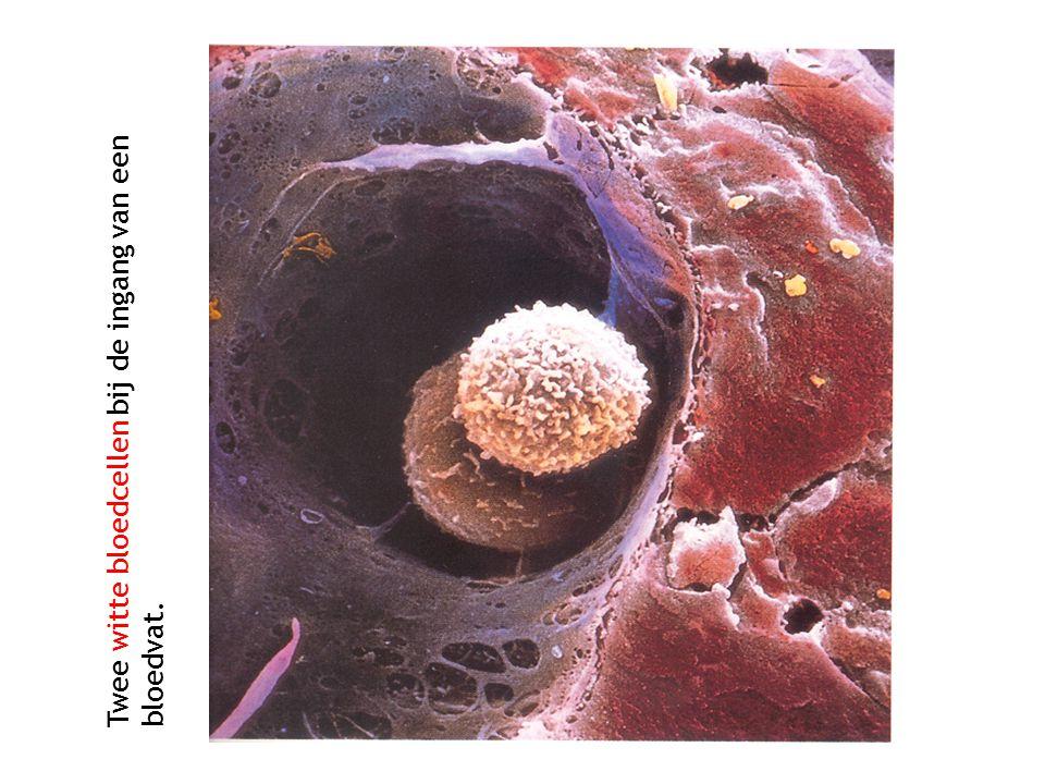 Twee witte bloedcellen bij de ingang van een bloedvat.
