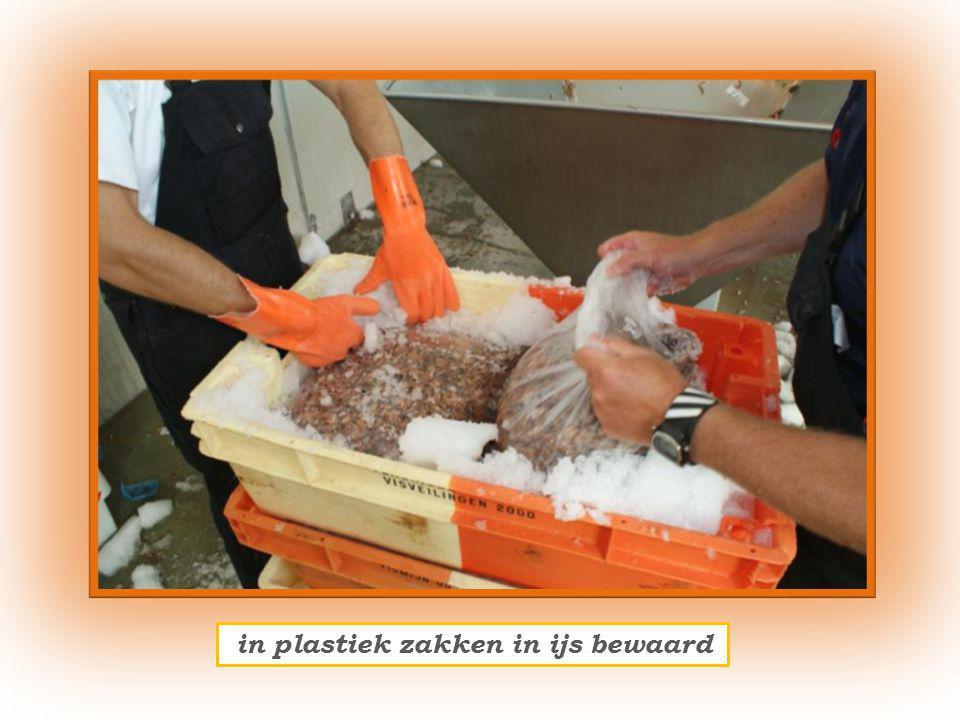 zo evolueerde het Belgische vissersvaartuigen onder Nederlandse beheer en bemanning komen hun meerdaagse garnalen, gevangen op de kust, lossen te Oostende.