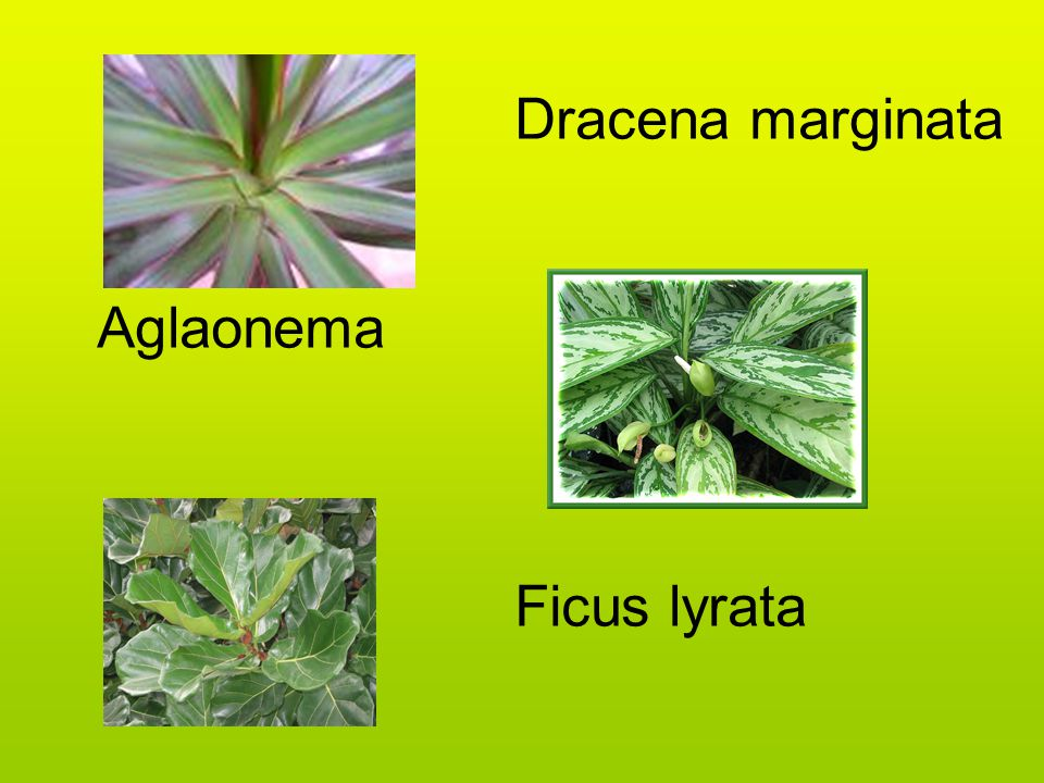 Dracena marginata Aglaonema Ficus lyrata