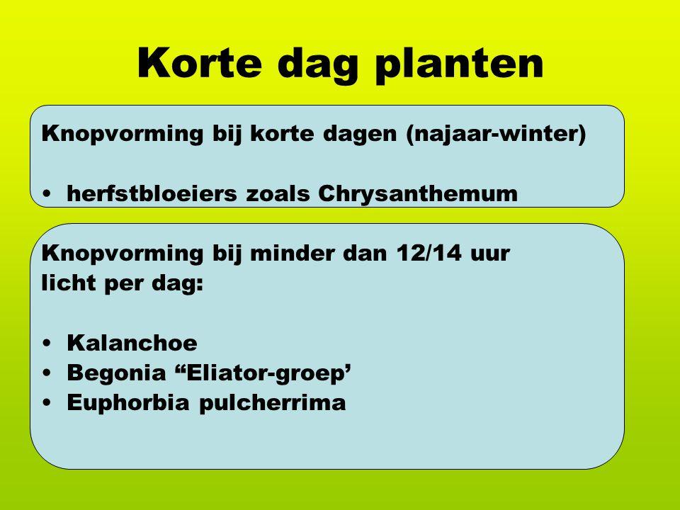 Korte dag planten Knopvorming bij korte dagen (najaar-winter) herfstbloeiers zoals Chrysanthemum Knopvorming bij minder dan 12/14 uur licht per dag: Kalanchoe Begonia Eliator-groep' Euphorbia pulcherrima