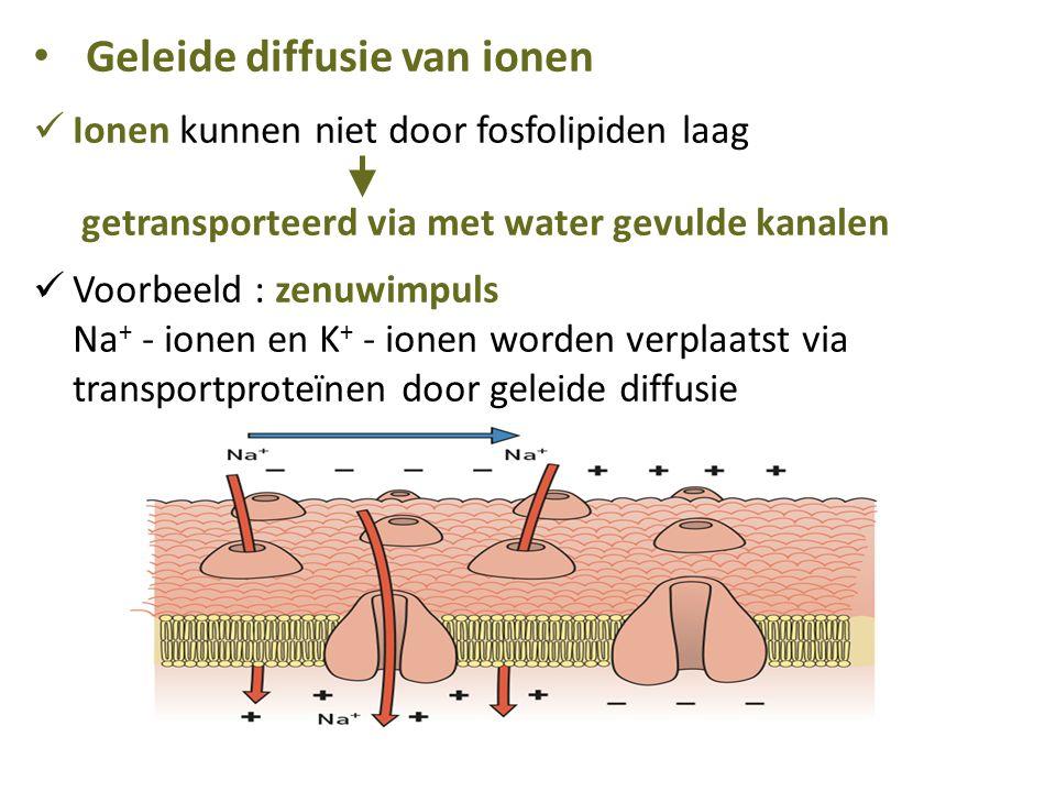 Geleide diffusie van ionen Ionen kunnen niet door fosfolipiden laag getransporteerd via met water gevulde kanalen Voorbeeld : zenuwimpuls Na + - ionen