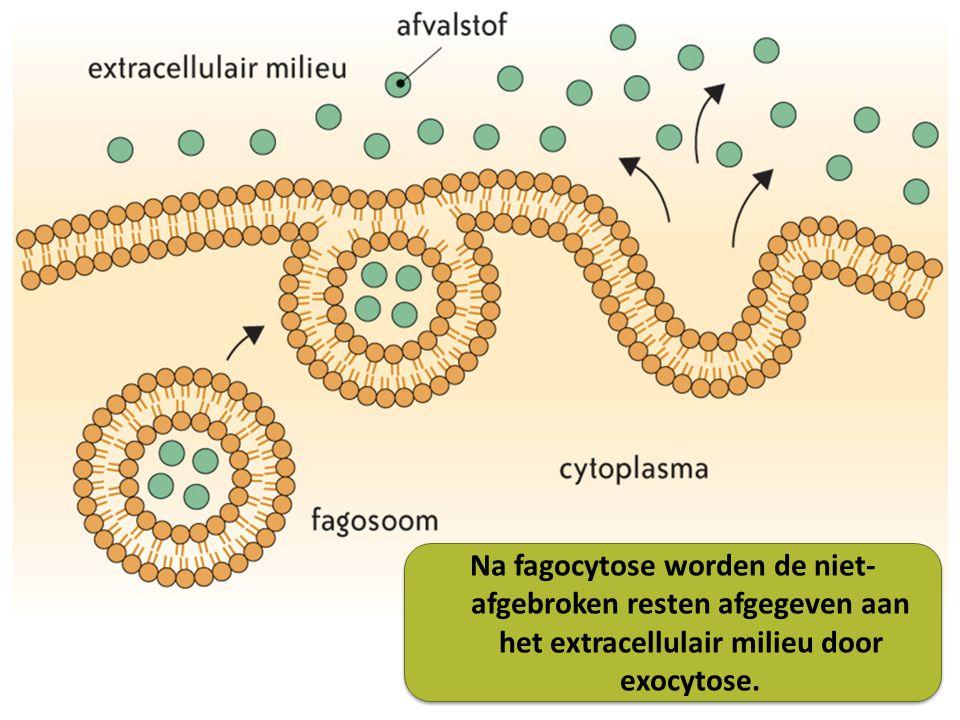 Na fagocytose worden de niet- afgebroken resten afgegeven aan het extracellulair milieu door exocytose.