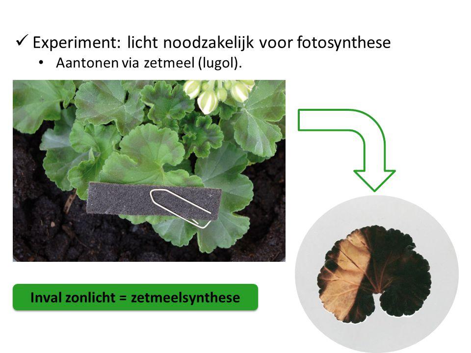 Experiment: licht noodzakelijk voor fotosynthese Aantonen via zetmeel (lugol). Inval zonlicht = zetmeelsynthese