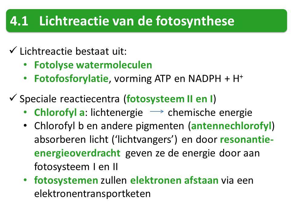 4.1Lichtreactie van de fotosynthese Lichtreactie bestaat uit: Fotolyse watermoleculen Fotofosforylatie, vorming ATP en NADPH + H + Speciale reactiecen