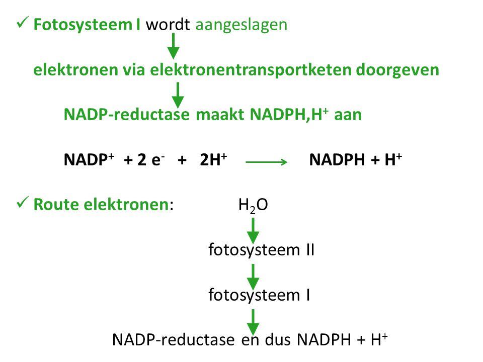 Fotosysteem I wordt aangeslagen elektronen via elektronentransportketen doorgeven NADP-reductase maakt NADPH,H + aan NADP + + 2 e - + 2H + NADPH + H +