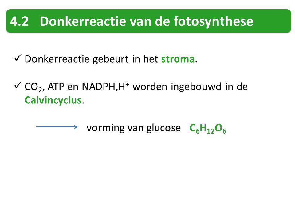 4.2Donkerreactie van de fotosynthese Donkerreactie gebeurt in het stroma. CO 2, ATP en NADPH,H + worden ingebouwd in de Calvincyclus. vorming van gluc