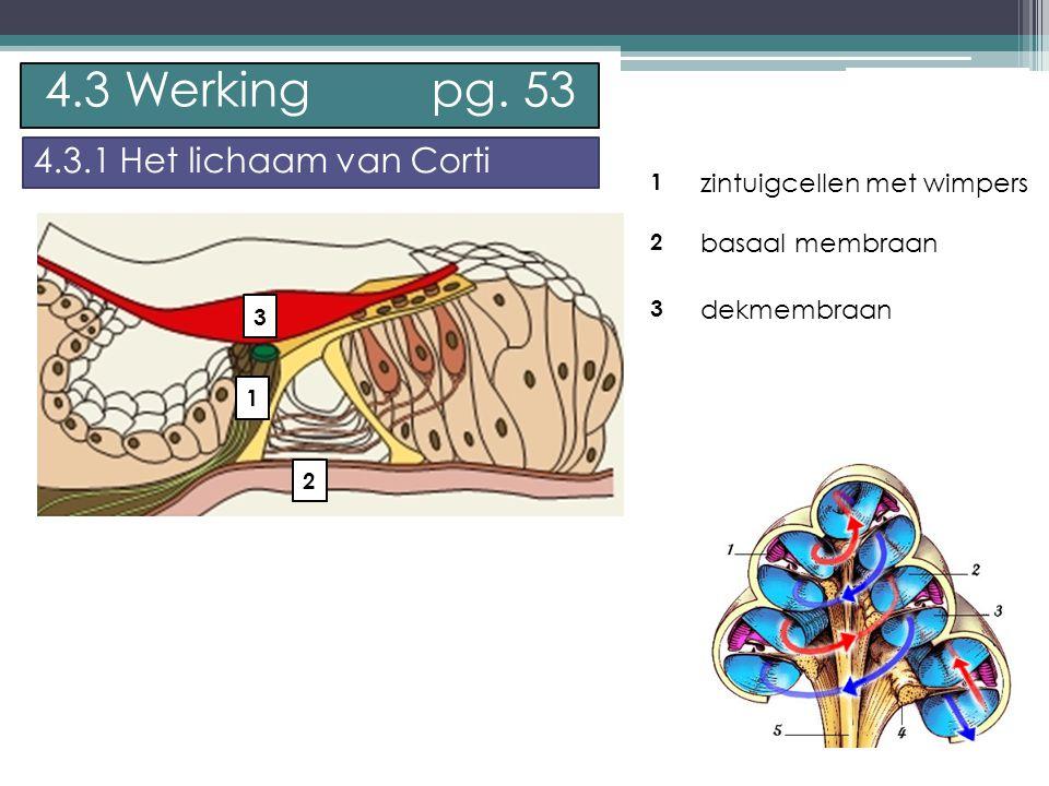 P. Feys - Sint – Jorisschool Menen 1 2 3 zintuigcellen met wimpers basaal membraan dekmembraan 4.3 Werking pg. 53 4.3.1 Het lichaam van Corti 1 2 3