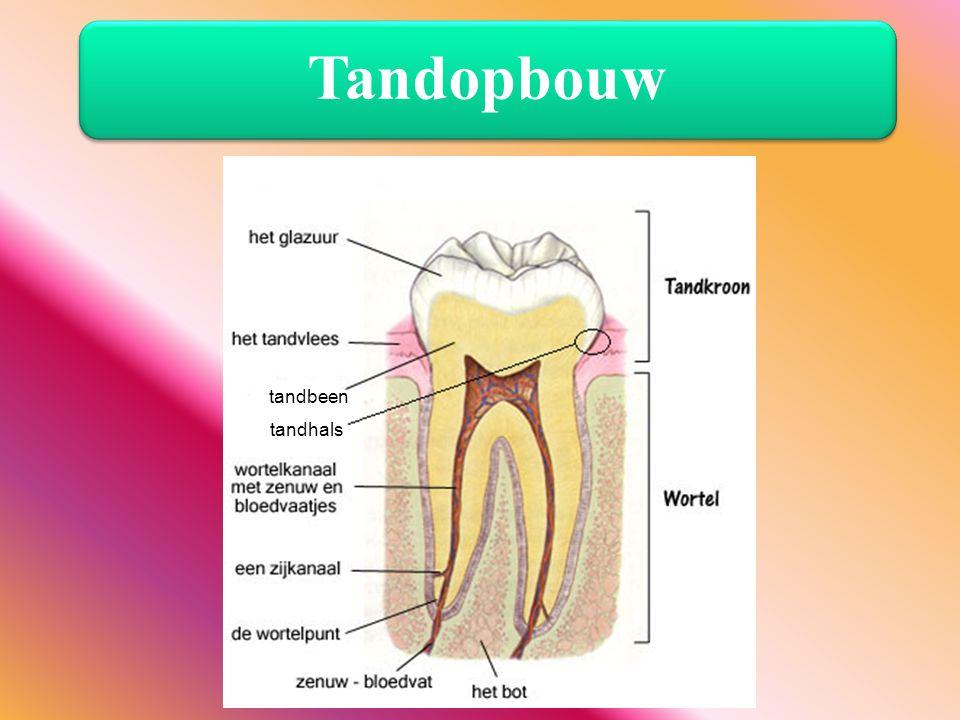 Tandopbouw tandbeen tandhals