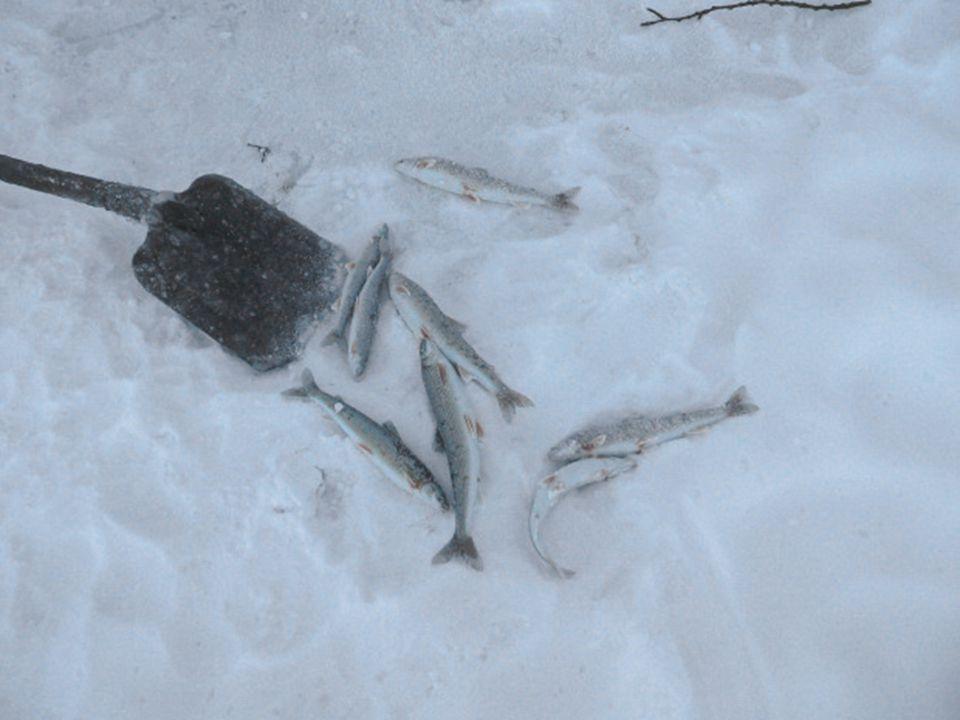 Bij de visvangst is de vis reeds met ijs bedekt als hij uit het water komt. Dertig seconden volstaan om hem volledig te bevriezen. Een andere curiosit