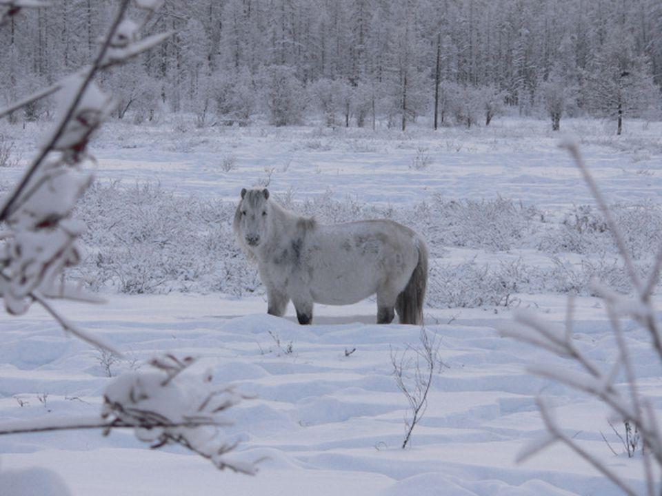 De dieren in de streek hebben zich aangepast aan de strenge weersomstandigheden. De paarden in Oymyakon zijn zeer robust, met korte benen en een dikke