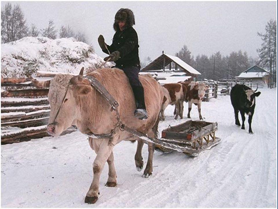 Beschermde stal voor koeien. De meeste mensen werken met koeien en paarden